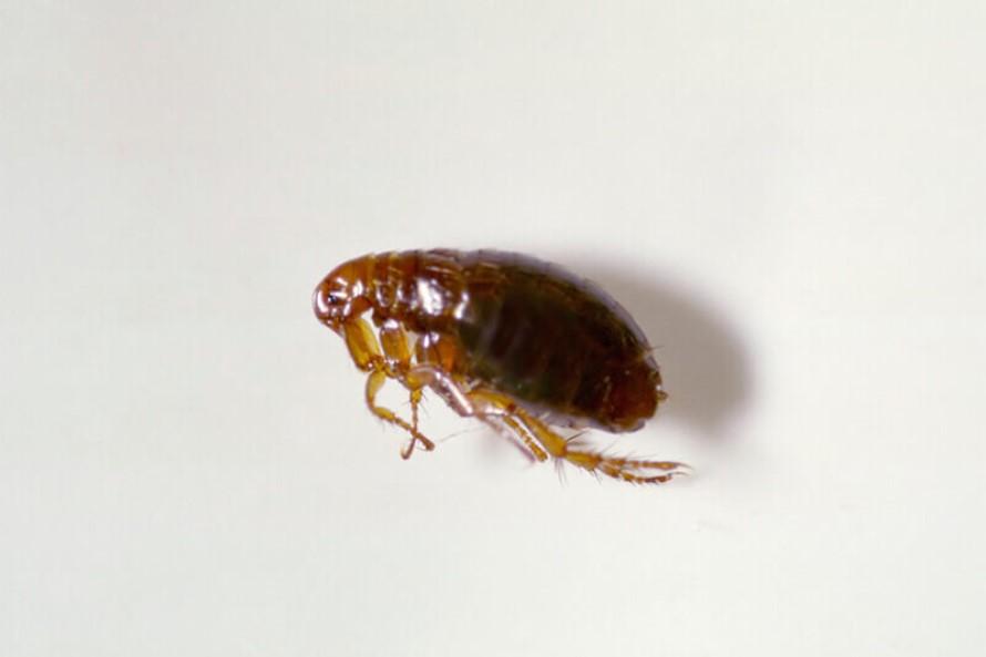 Trampas para pulgas