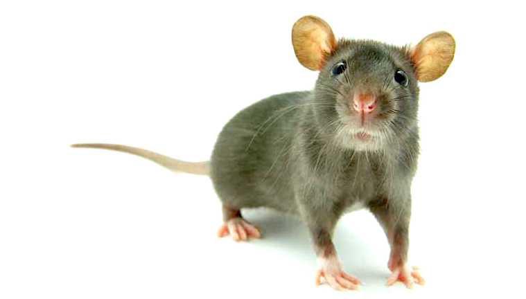 Matar o eliminar roedores