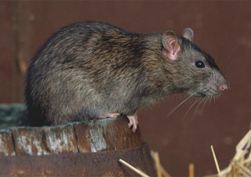 Combatir a las Ratas