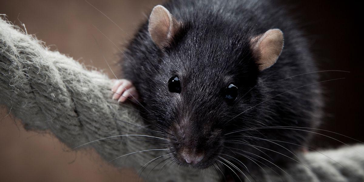 Trampas para rata