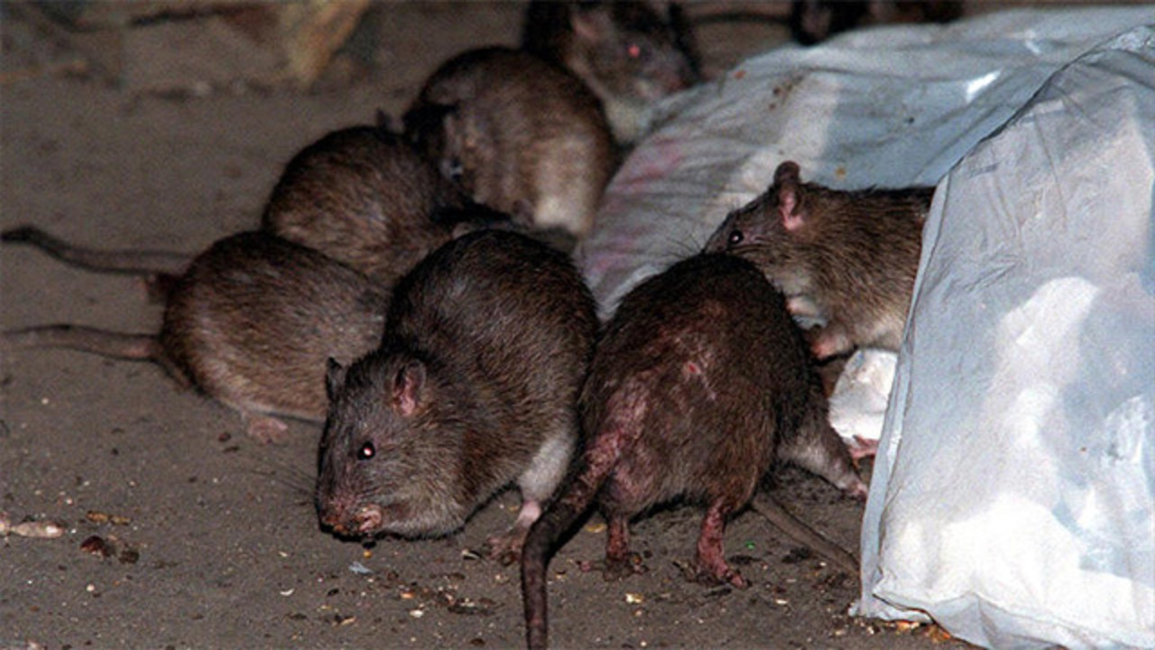Veneno para Rata