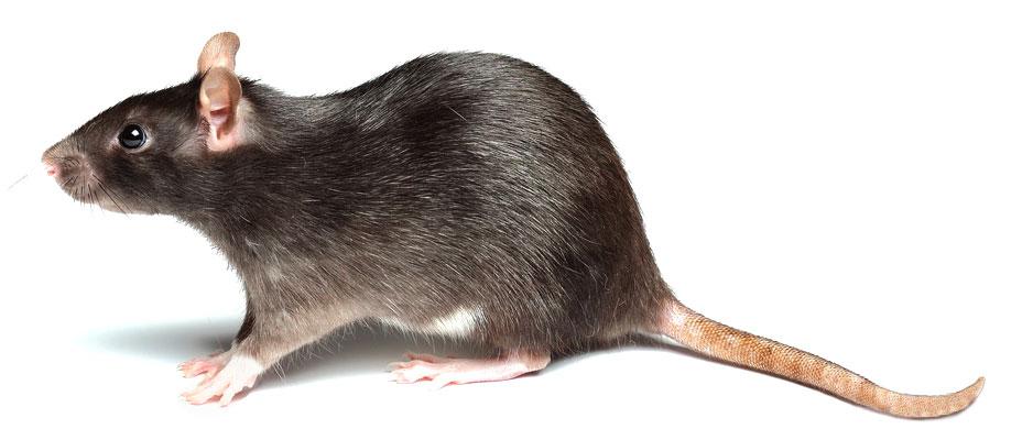 Matar o eliminar ratas