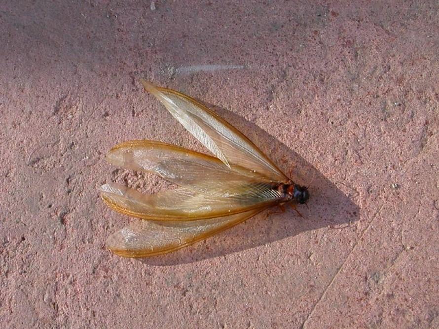 Trampas para termitas aladas