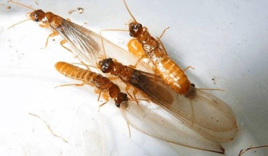 imagen de las termitas voladoras