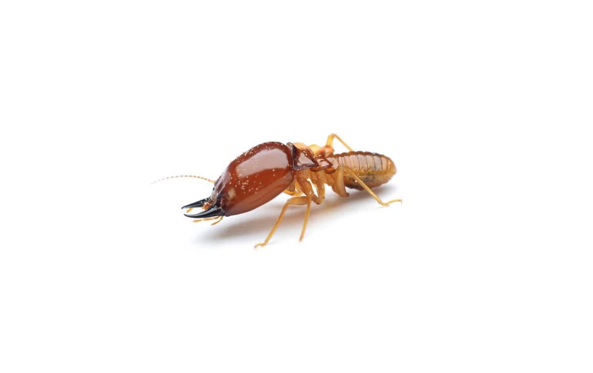 Matar o eliminar termitas