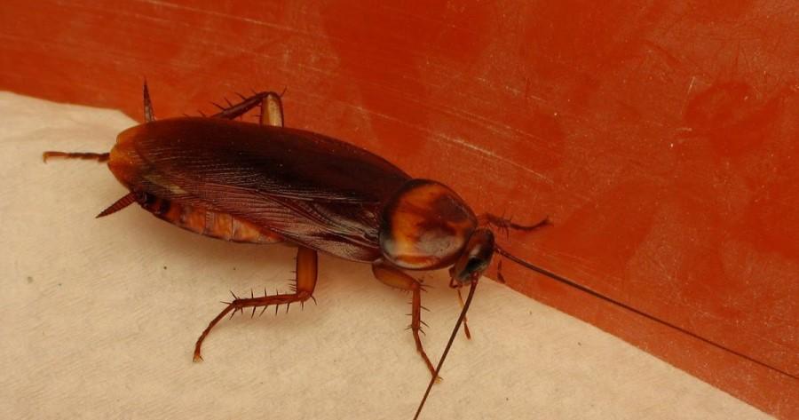 Tratamiento contra las Cucarachas Americanas