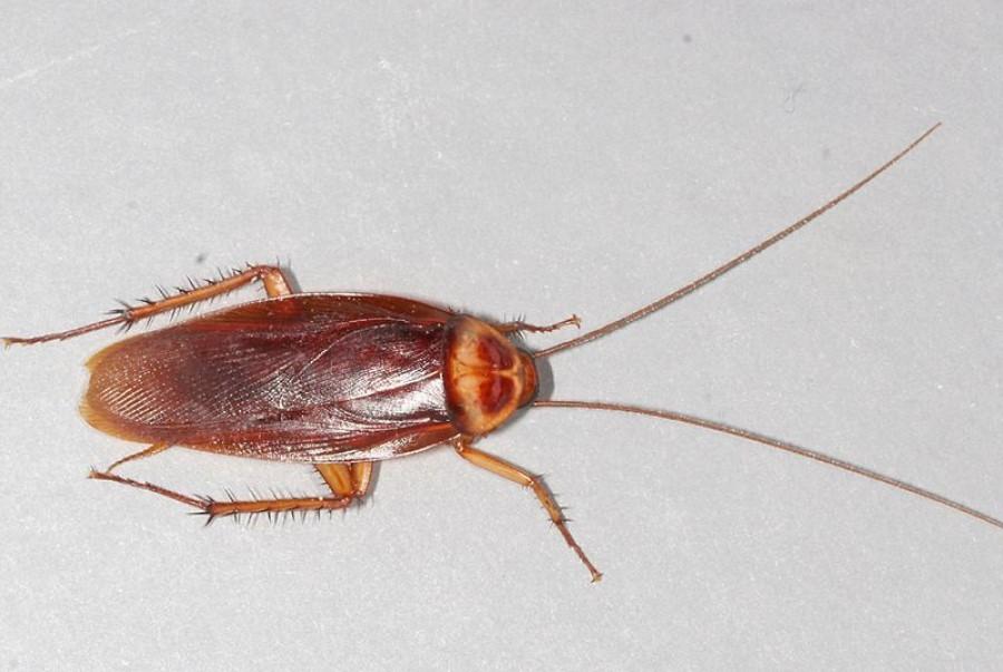 Tipos de Cucaracha Americana