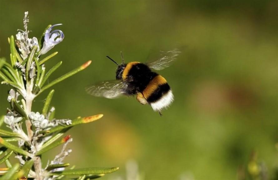 ¿Cómo deshacerse de los abejorros de una vez por todas?
