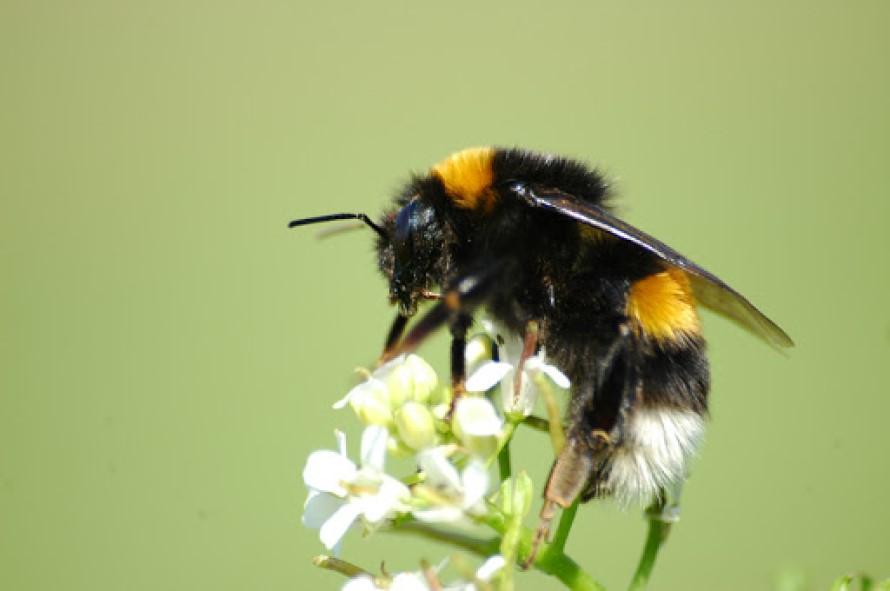 Trampas para abejorros