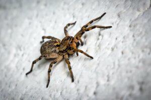 Cómo matar arañas