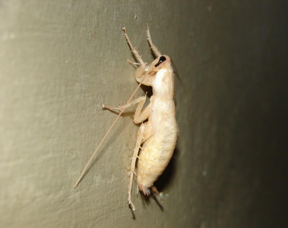 Control de Plagas de Cucaracha Blanca