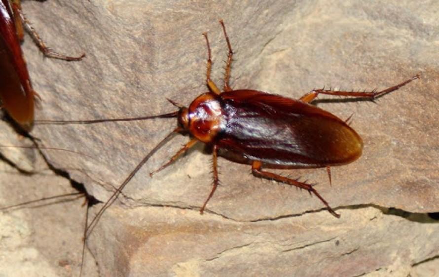 Acabar con las Cucarachas Definitivamente