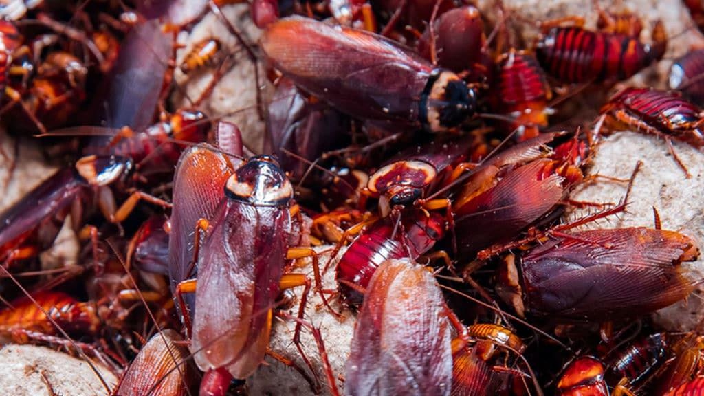Eliminar la Cucaracha Americana