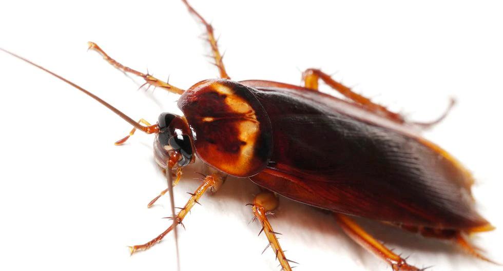 Cómo Matar Cucaracha Americana