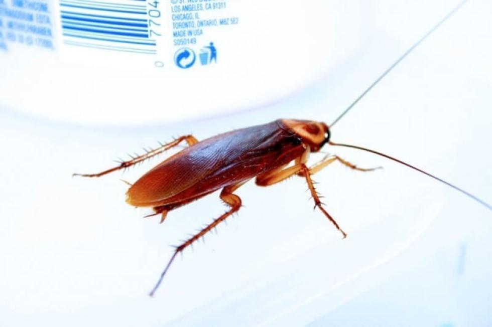 Acabar con la Cucaracha Americana Definitivamente