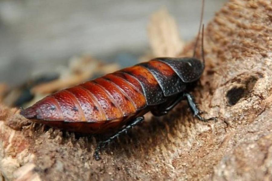 Exterminar Cucaracha de Madagascar