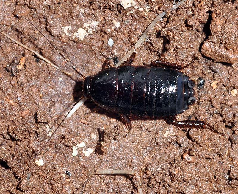 Control de Plagas de Cucaracha Oriental