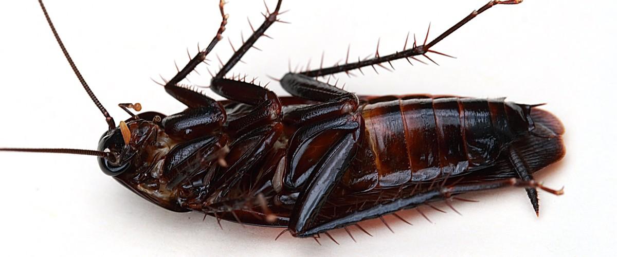 Exterminar Cucaracha Oriental