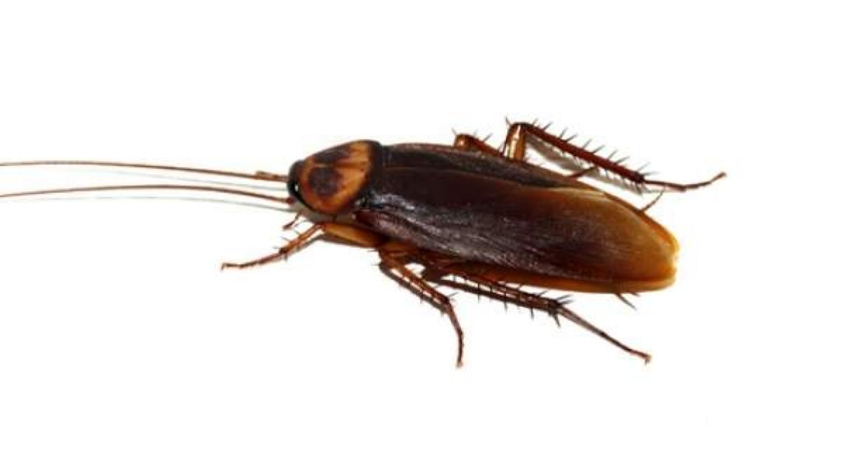 Control de Plagas de Cucaracha Roja