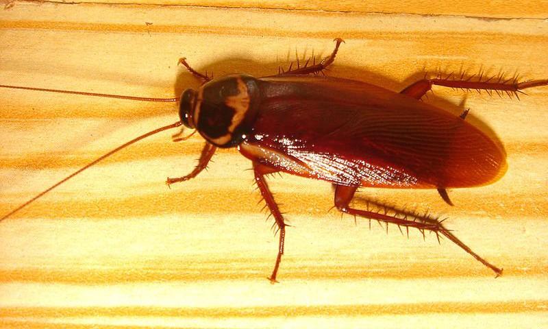 Exterminar Cucaracha Roja