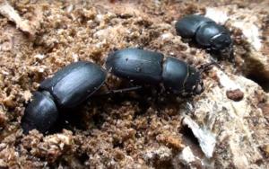 Exterminar Escarabajos