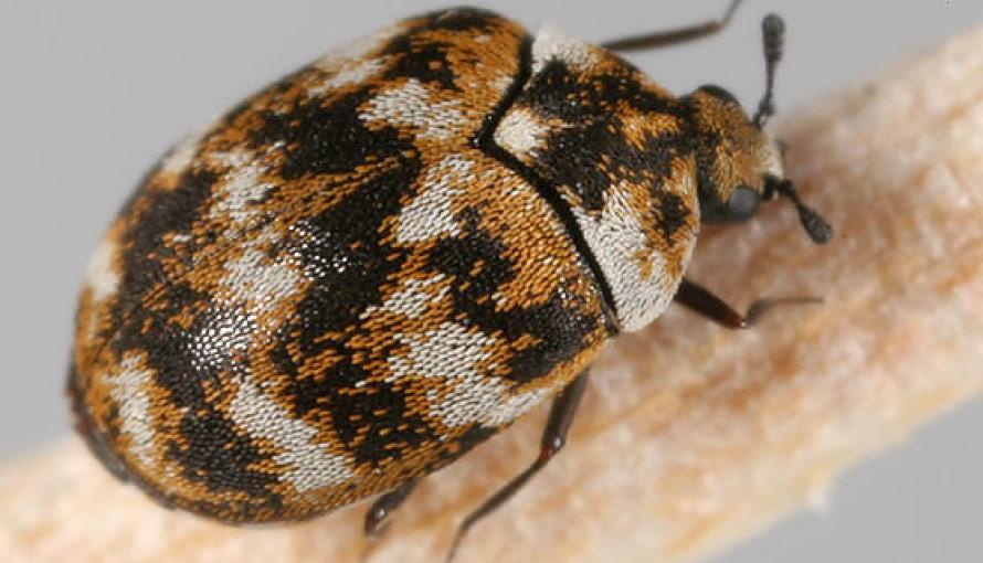 Exterminar Escarabajos de Alfombra