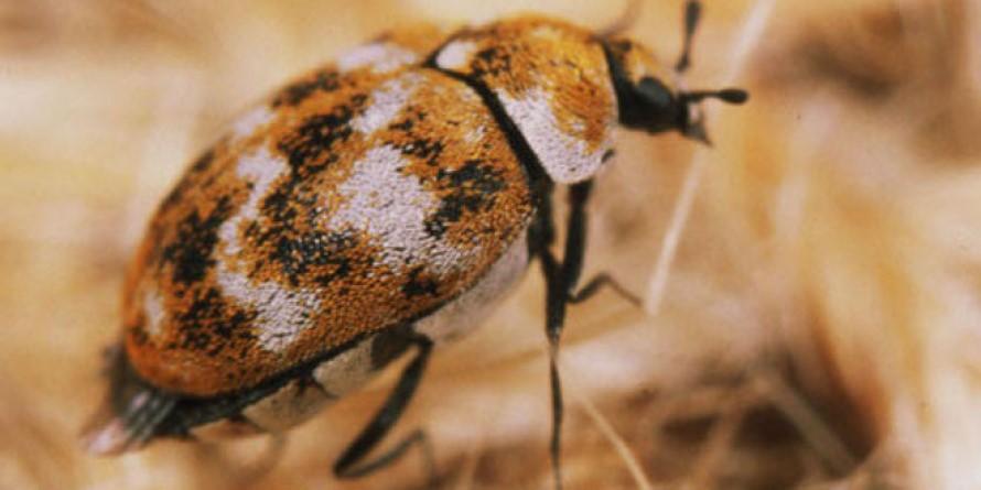 Control de Plagas de Escarabajos de Alfombra