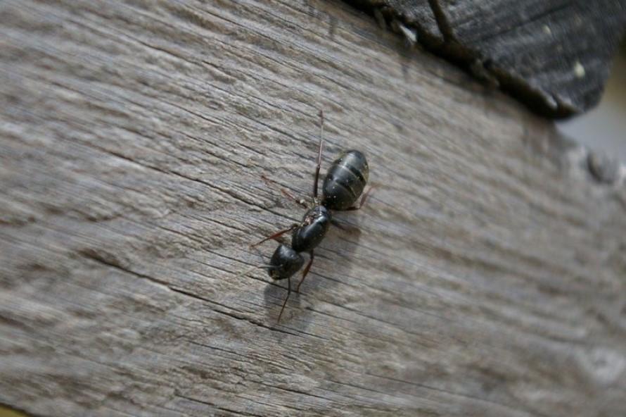 Control de Plagas de Hormigas Carpinteras