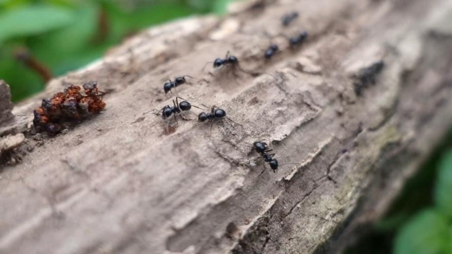 Exterminar Hormigas Carpinteras