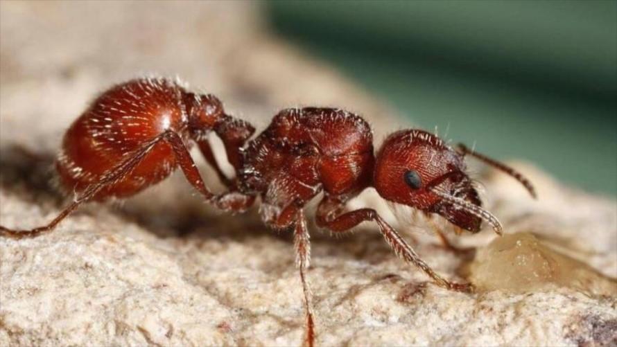Control de Plagas de Hormigas de Fuego