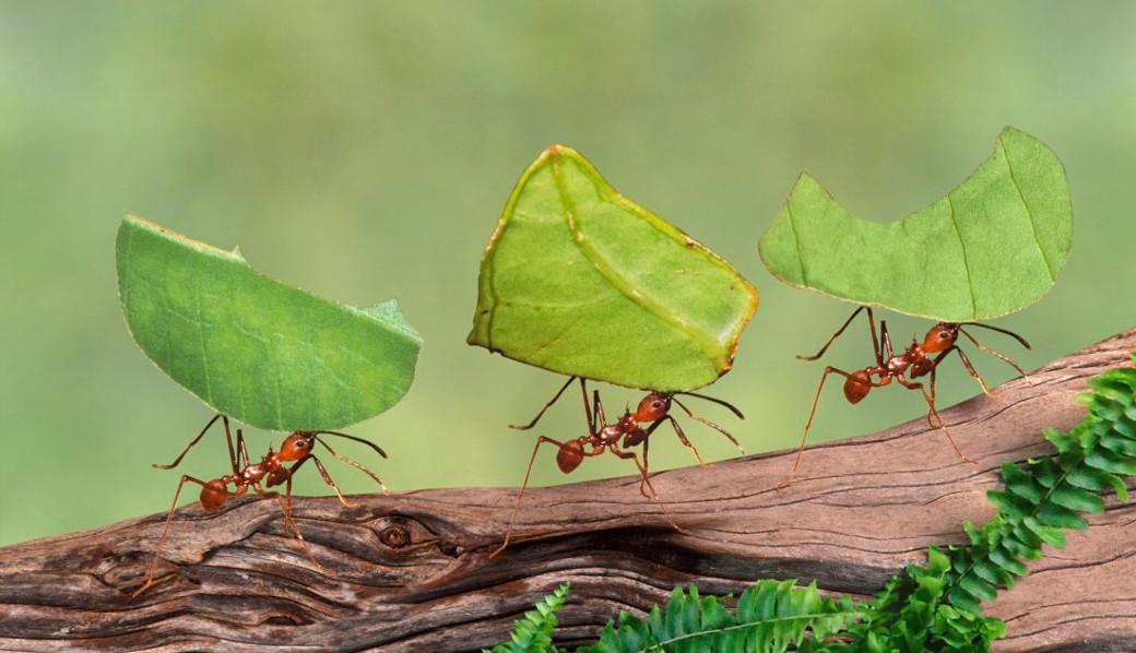 Exterminar Hormigas Cortadoras de Hojas