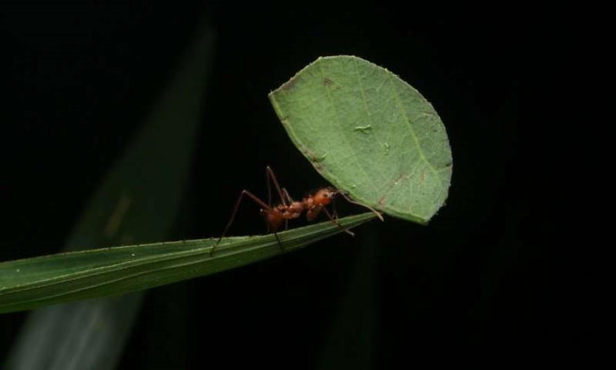 Control de Plagas de Hormigas Cortadoras de Hojas