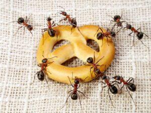 Control de Plagas de Hormigas en Casa