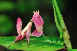 Exterminar Mantis Orquídea