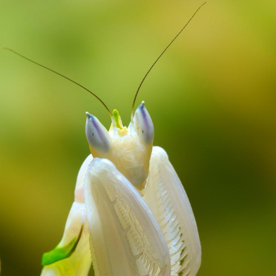 Control de Plagas de Mantis Orquídea