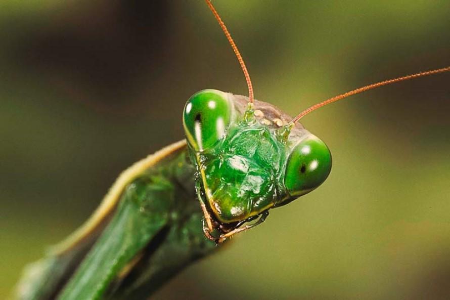 Control de Plagas de Mantis Religiosa