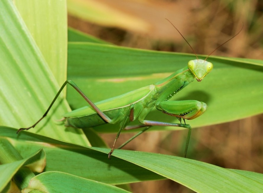 Exterminar Mantis Religiosa