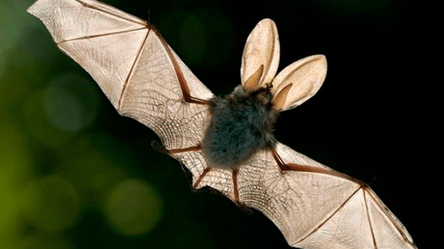Control de Plagas de Murciélagos