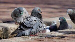 Cómo ahuyentar palomas