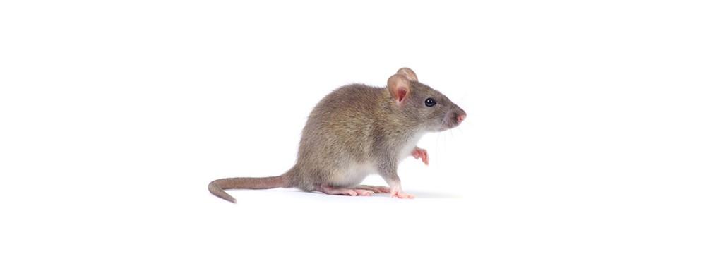 Control de Plagas de Ratones