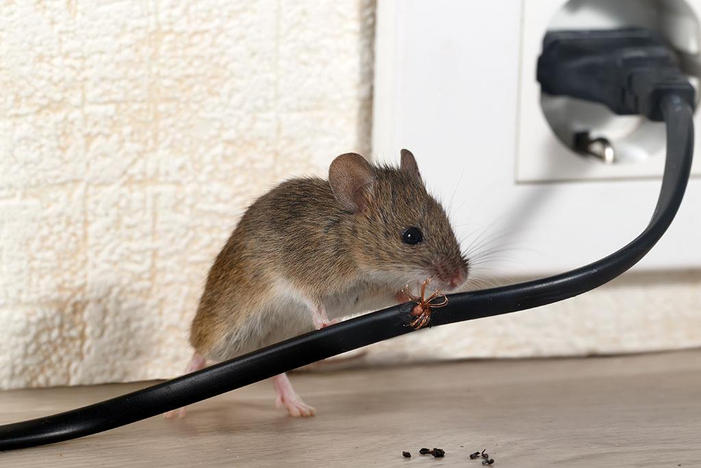 Fumigar ratones