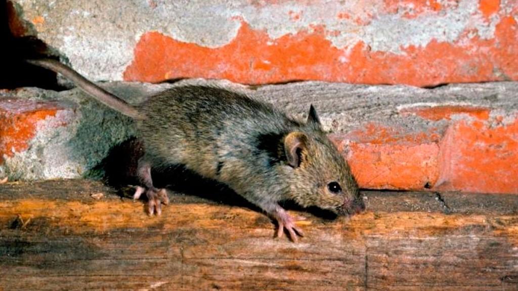 Exterminador de Ratones a Domicilio