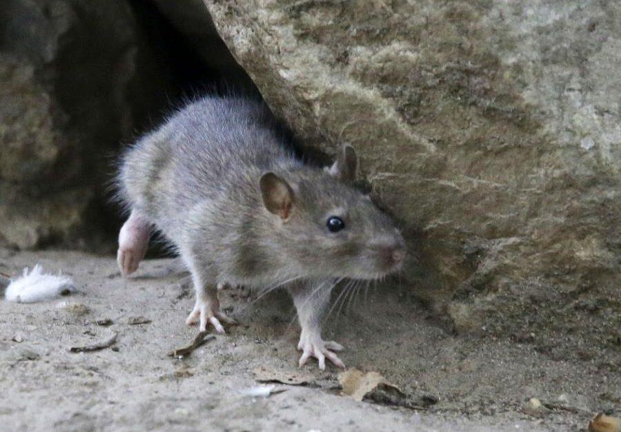 Control de Plagas de Rata