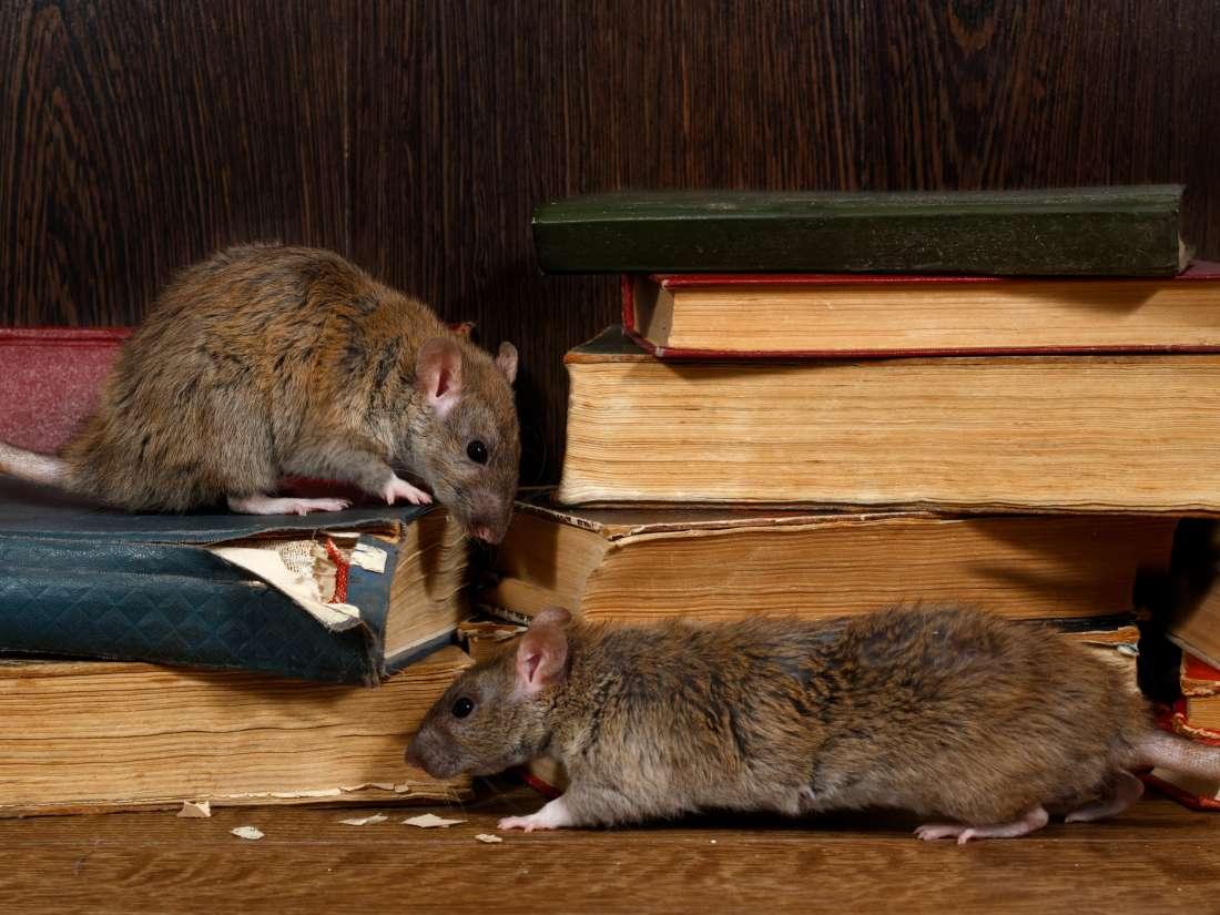 Exterminar Rata