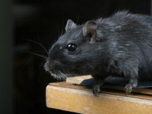 Ratas negras