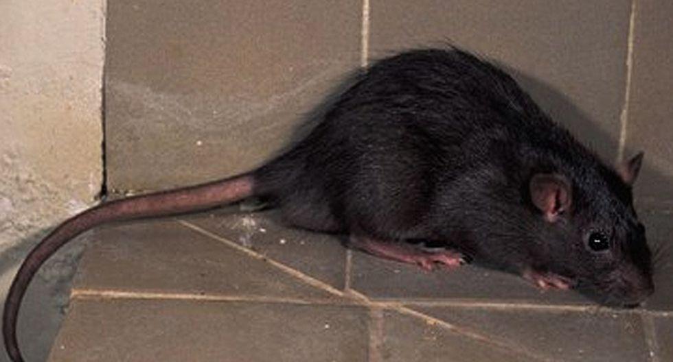 Cómo Detectar o Saber si hay ratas negras en Casa
