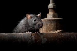 Cómo Ataca la rata negra