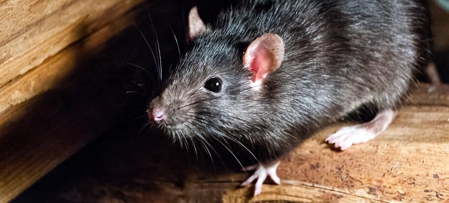 Remedios para Matar ratas negras. Remedios y Trucos Caseros