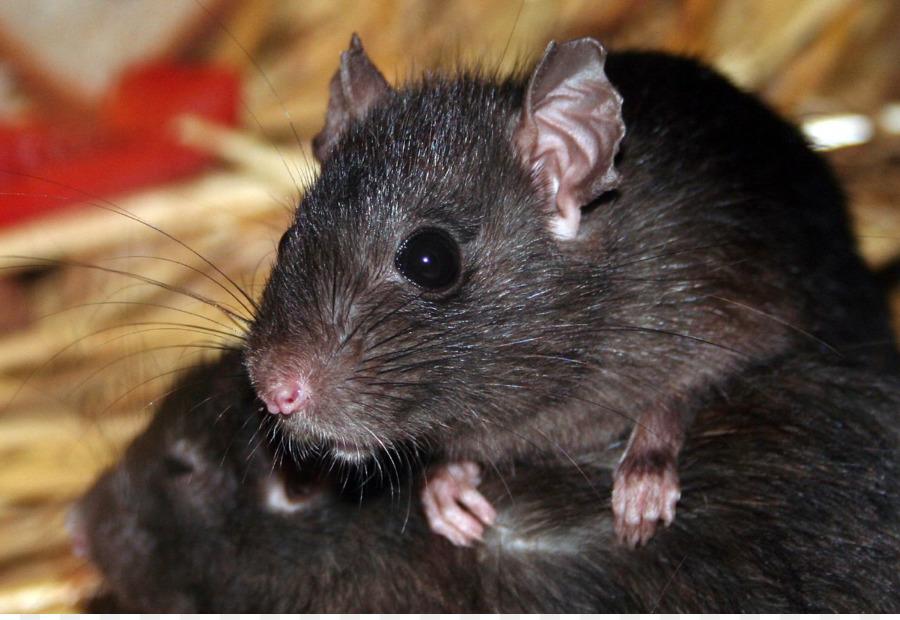 Trampas para ratas negras