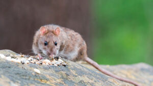 ¿Cómo matar rata marrón?